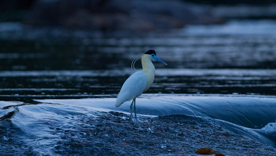 Capped Heron (Pilherodius pileatus) - Photo by Jorge Lopes