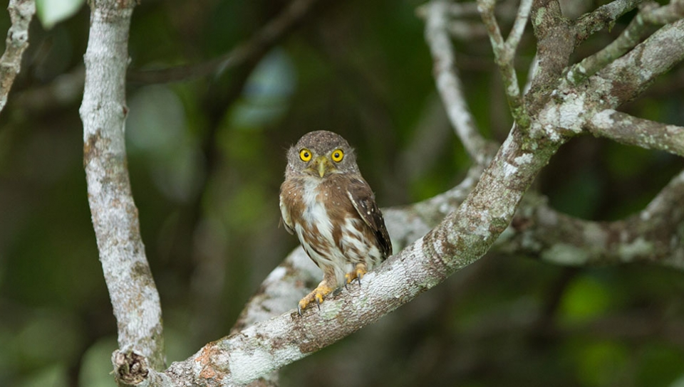 Amazonian Pygmy Owl (Glaucidium hardyi) - Photo by Jorge Lopes
