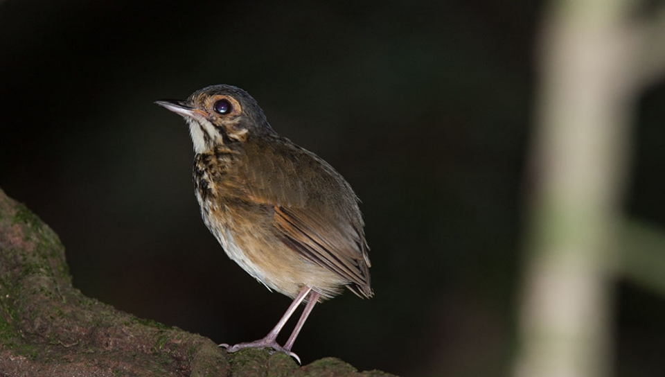 New Species for science - Alta Floresta Antpitta (Hylopezus whittakeri) - Photo by Jorge Lopes