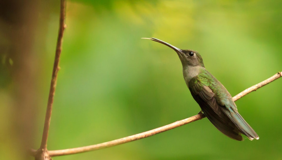 Grey-breasted Sabrewing (Campylopterus largipennis) - Photo by Alex Da Riva
