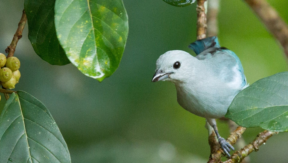 Blue-grey Tanager (Thraupis episcopus) - Photo by Alex Da Riva