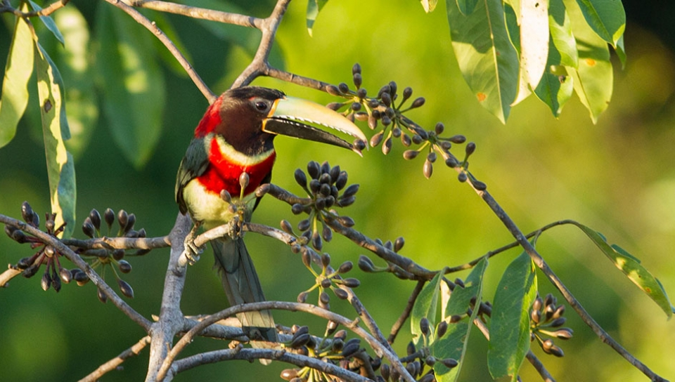 Red-necked Aracari (Pteroglossus bitorquatus) - Photo by Jorge Lopes