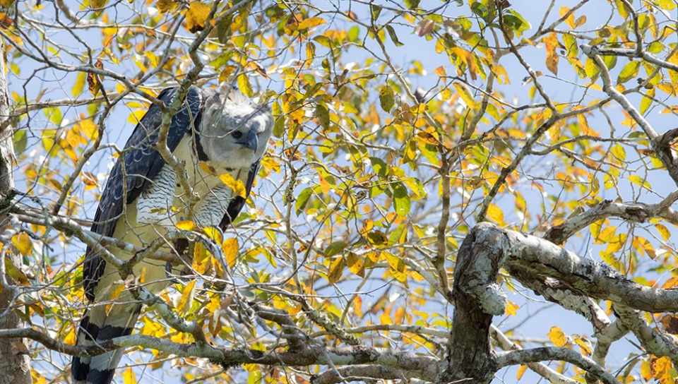 Harpy Eagle (Harpia harpyja) - Photo by Alex Da Riva