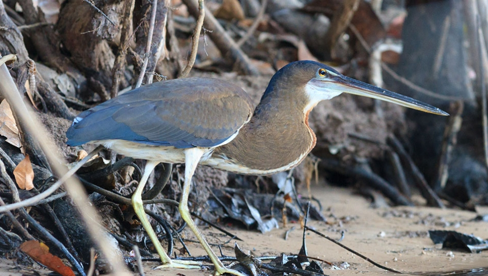 Young Agami Heron (Agamia agami) - Photo by Jorge Lopes