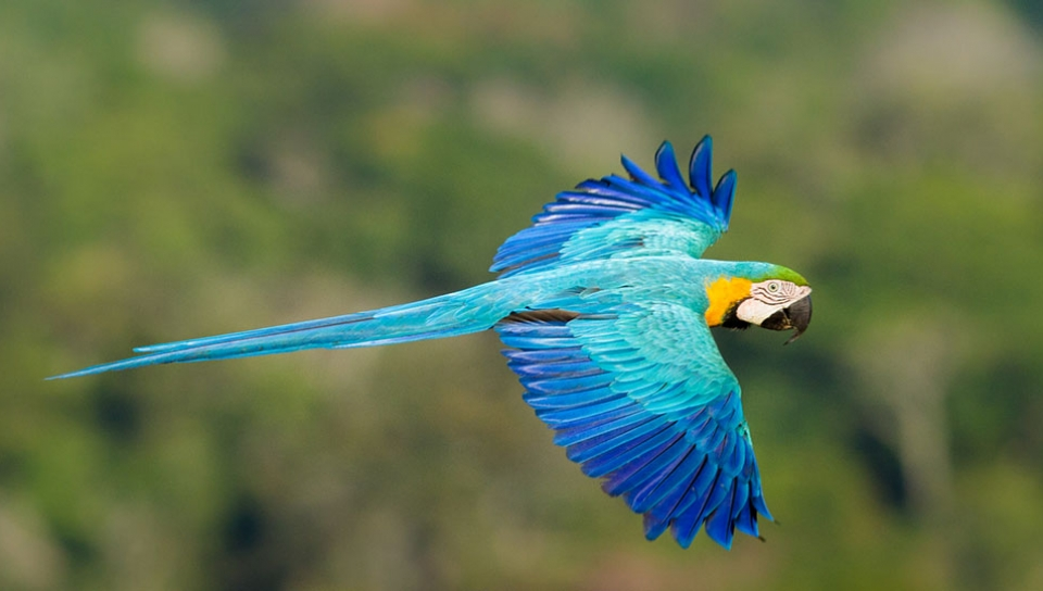 Blue-and-yellow Macaw (Ara ararauna) - Photo by Jorge Lopes
