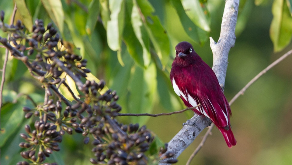 Pompadour Cotinga (Xipholena punicea) - Photo by Ester Ramirez