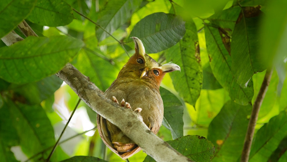 Crested Owl (Lophostrix cristata) - Photo by Jorge Lopes