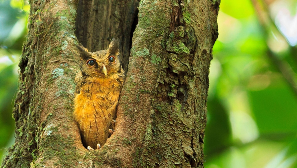Southern Tawny-bellied Screech Owl (Megascops usta) - Photo by Jorge Lopes