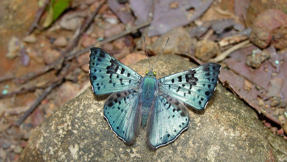 Black-patched Metalmark (Lasaia agesilas) - Photo by Will Carter