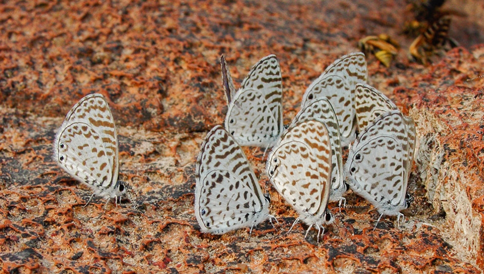 Cassius Blue (Leptotes cassius) - Photo by Will Carter