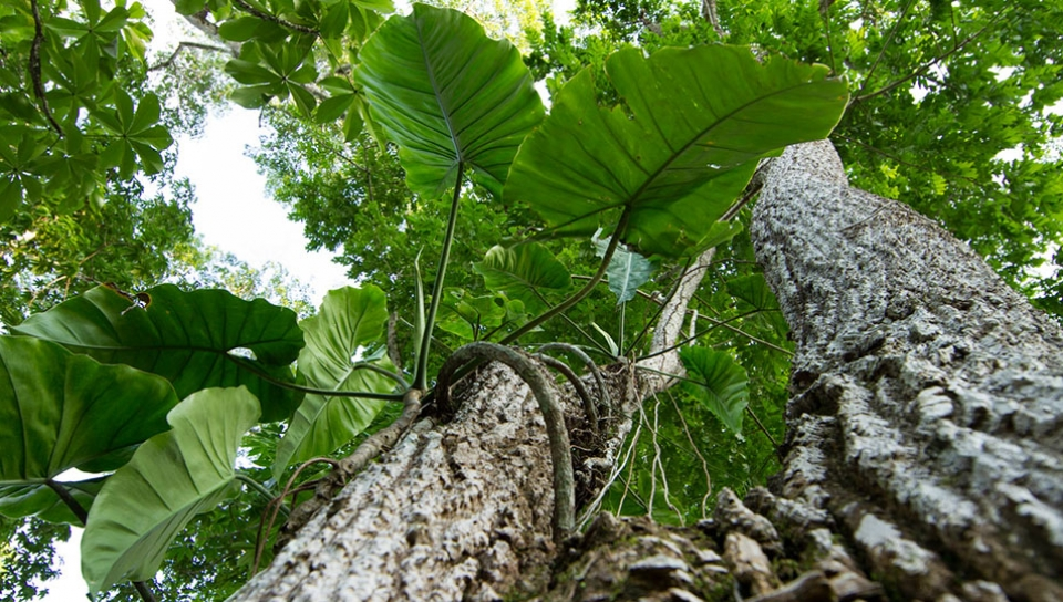 Philodendron (Philodendron acutatum Willd. ex Schott) attached to prominent tree - Photo by Alex Da Riva