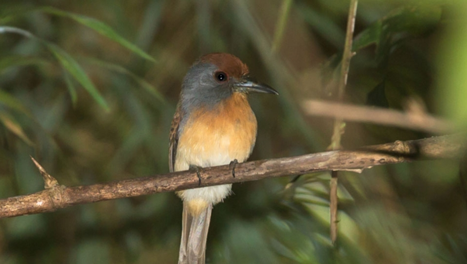 Rufous-capped Nunlet (Nonnula ruficapilla) - Photo by Marco Guedes