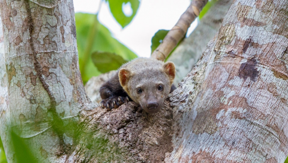 Tayra (Eira barbara) - Photo by Jorge Lopes
