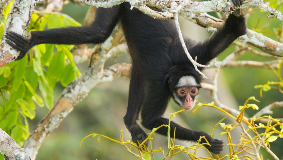 White-whiskered-spider Monkey (Ateles marginatus) - Photo by Jorge Lopes