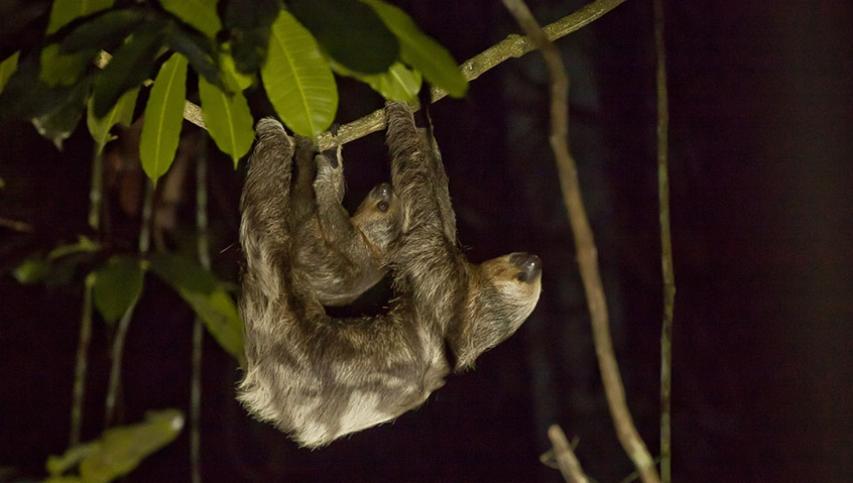 Brown-throated sloth (bradypus variegates) - Photo by Samuel Melim