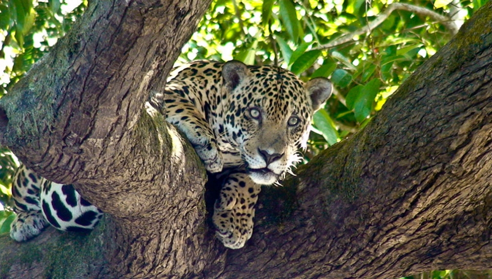 Jaguar (Panthera onca) - Photo by Jorge Lopes