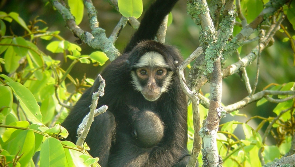 White-whiskered-spider Monkey (Ateles marginatus) - Photo by Will Carter