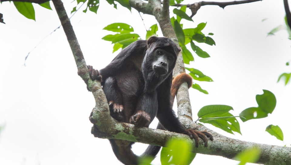 Red-handed howler Monkey (Alouatta discolor) - Photo by Jorge Lopes