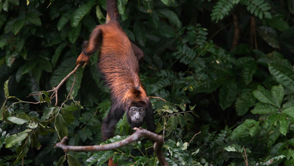 Red-handed howler Monkey (Alouatta discolor) - Photo by Araquém Alcântara