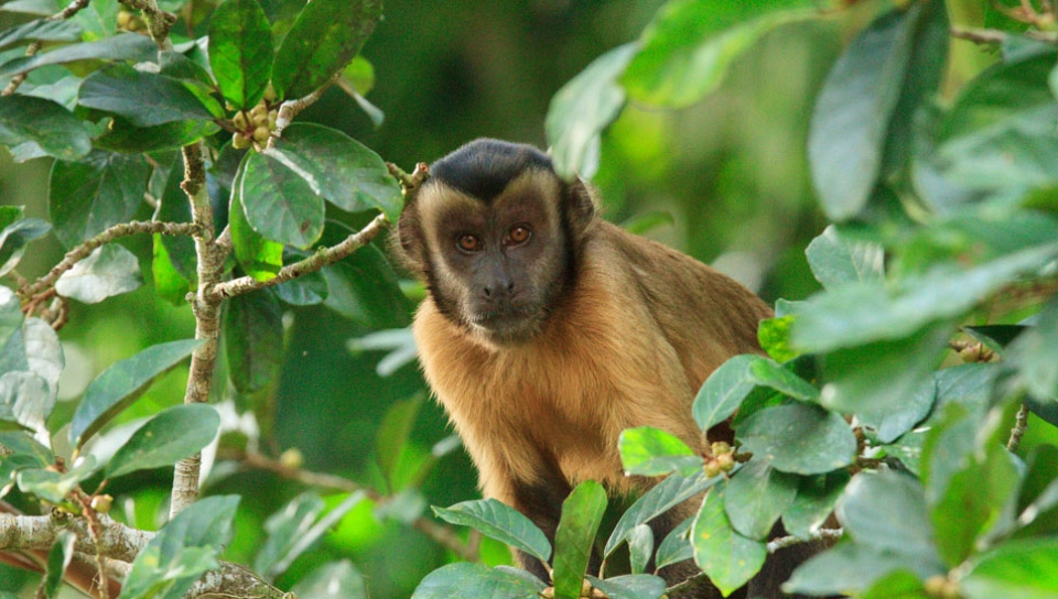 Tufted capuchin (Cebus apella) - Photo by Alex Da Riva