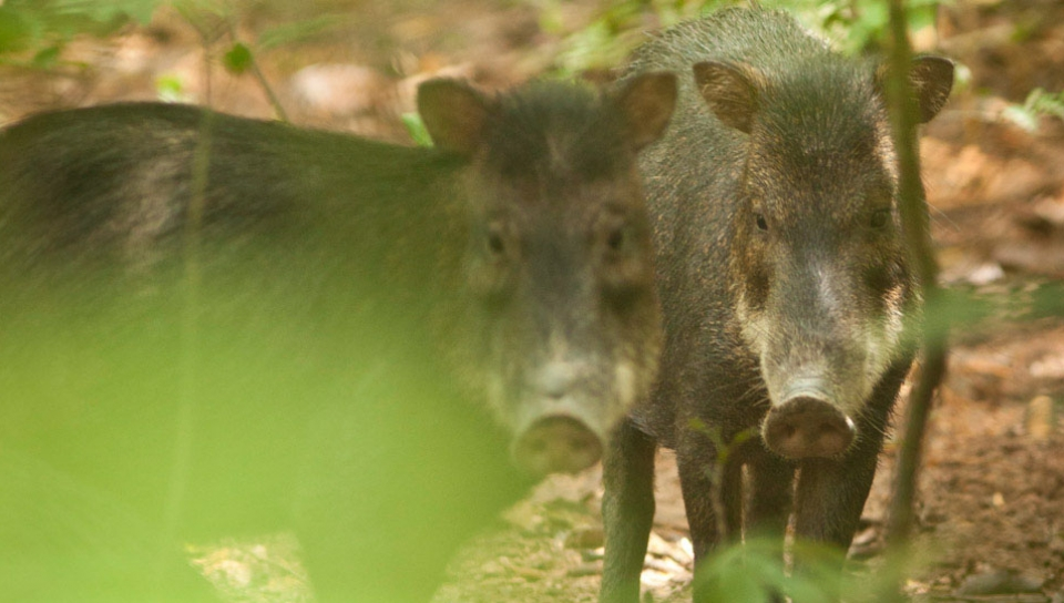 White collared peccary (Pecari tajacu) - Photo by Samuel Melim