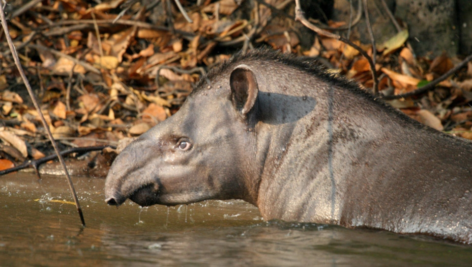 South American tapir (Tapirus terrestris) - Photo by Jorge Lopes