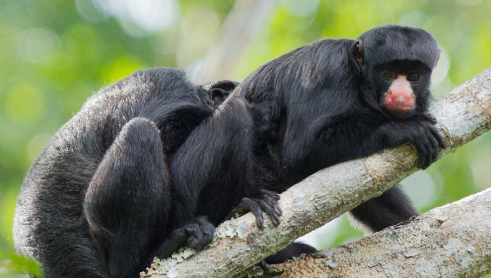 Red-nosed saki Monkey (Chiropotes albinasus) - Photo by Jorge Lopes