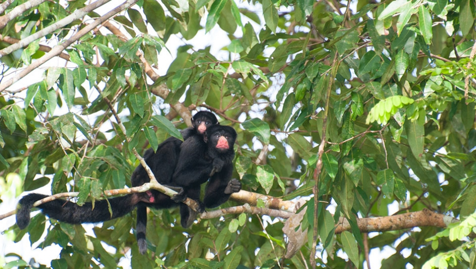 Behavior study of the Red-nosed-saki Monkey (Chiropotes albinasus) - Photo by Antonio Husadel