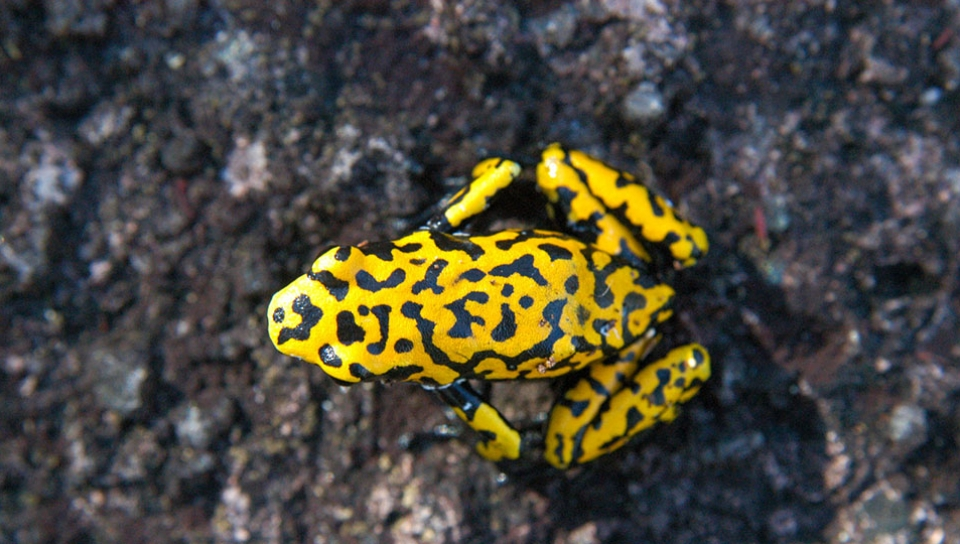 New frog species discovered to science (Dendrobatis sp) - Photo by Rudimar Cipriani