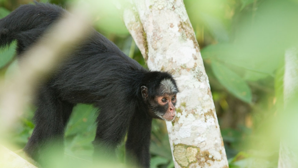 Behavior study of the White-whiskered-spider Monkey (Ateles marginatus) - Photo by Alex Da Riva