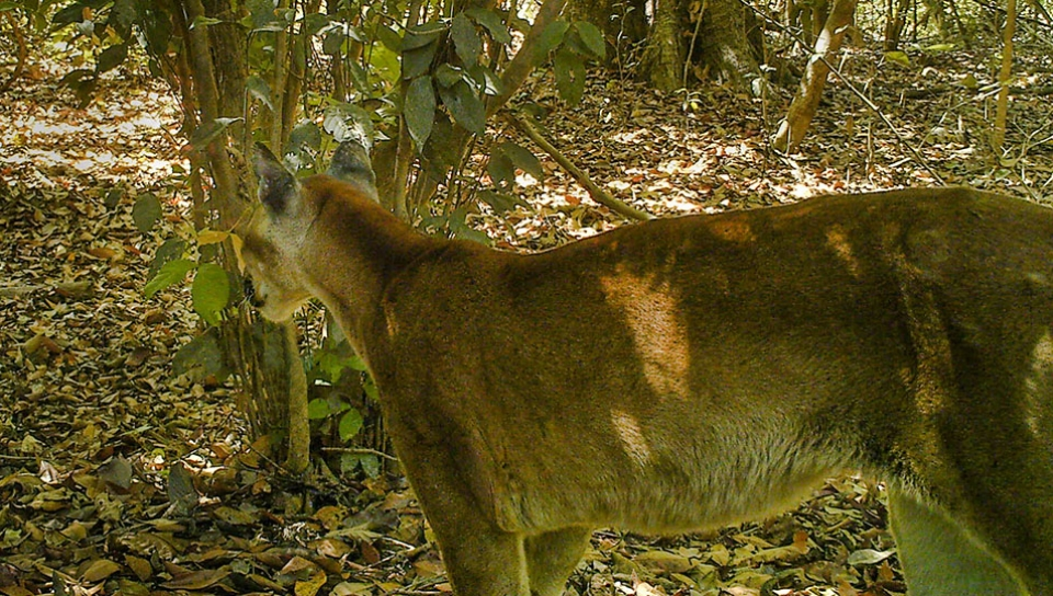 Puma (Puma concolor) caught on photo during the large mammals research at the Cristalino Reserve - Photo: Camera Trap - Bárbara Zimbres