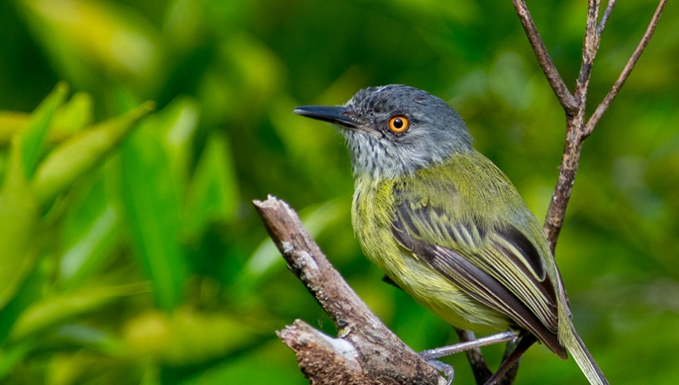Spotted Tody-Flycatcher (Todirostrum maculatum) - Photo by João Quental