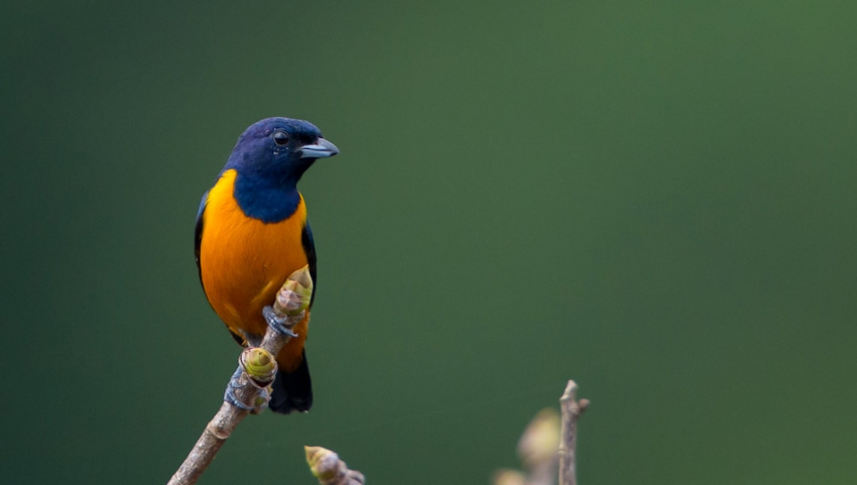 Rufous-bellied Euphonia (Euphonia rufiventris) - Photo by João Quental