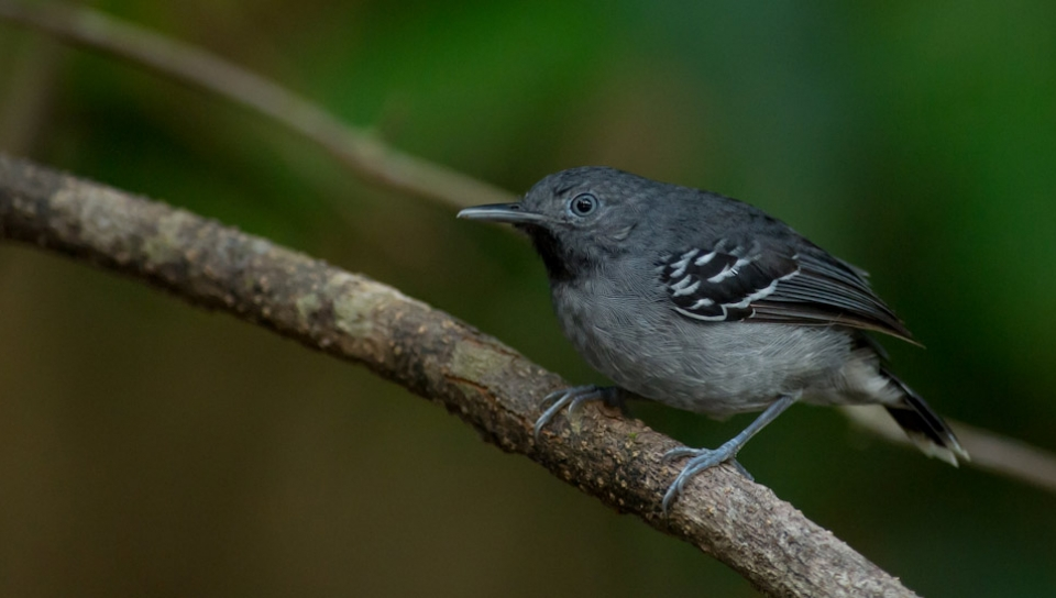 Band-tailed Antbird (Hypocnemoides maculicauda) - Photo by João Quental