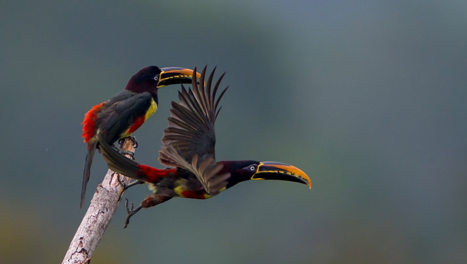 Chestnut-eared Aracari (Pteroglossus castanotis) - Photo by João Quental