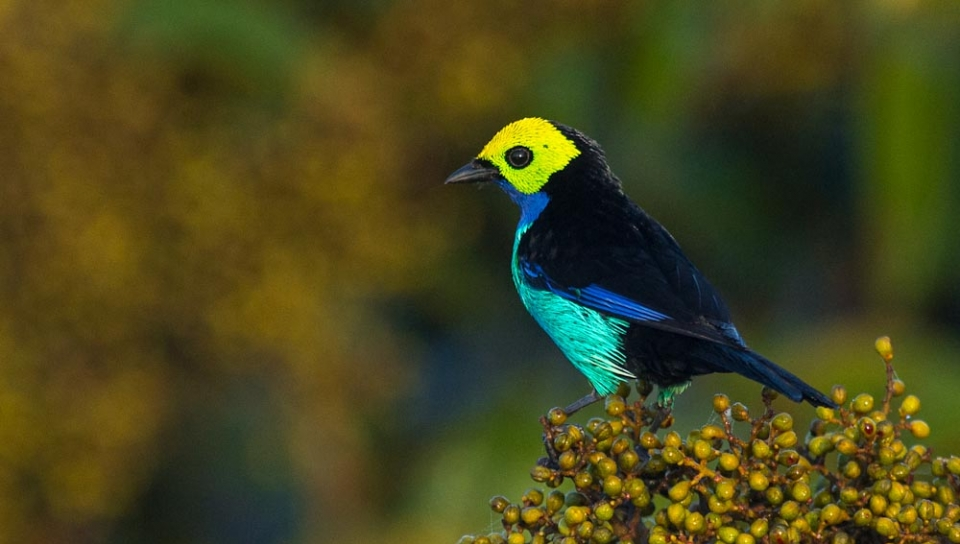 Paradise Tanager (Tangara chilensis) - Photo by João Quental