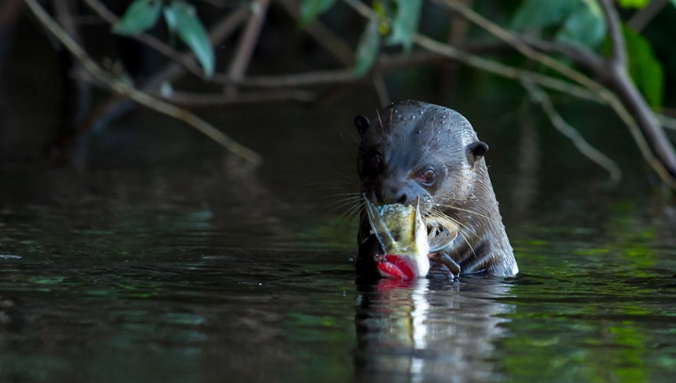 Giant otter (Pteronura brasiliensis) - Photo by João Quental