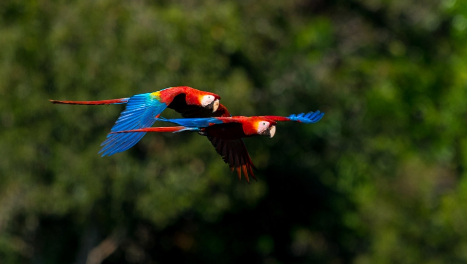 Scarlet Macaw (Ara macao) - Photo by João Quental