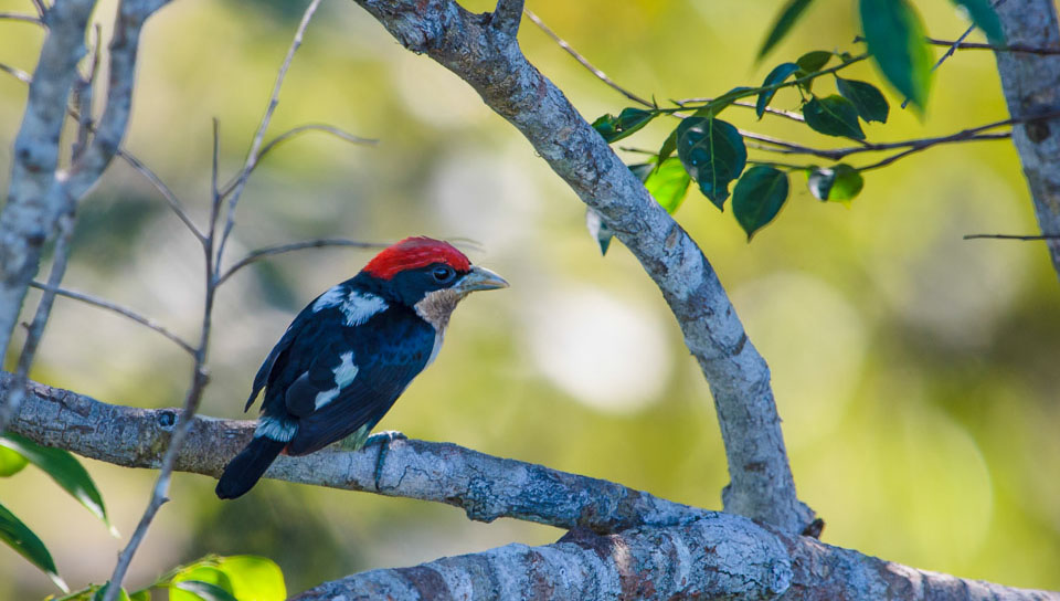 Black-girdled Barbet (Capito dayi) - Photo by Marcos Amend