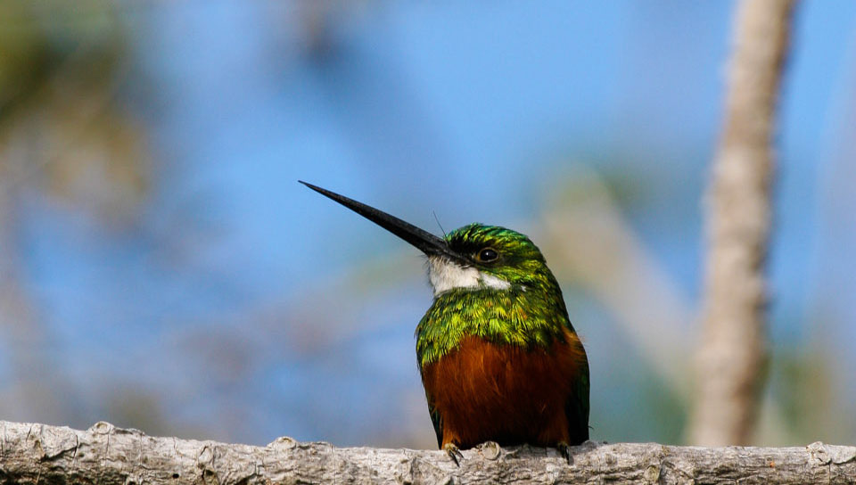 Rufous-tailed Jacamar (Galbula ruficauda) - Photo by Benjamin Freeman