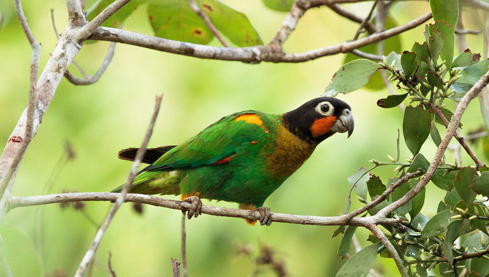 Orange-cheeked Parrot (Pyrilia barrabandi) - Photo by Jorge Lopes