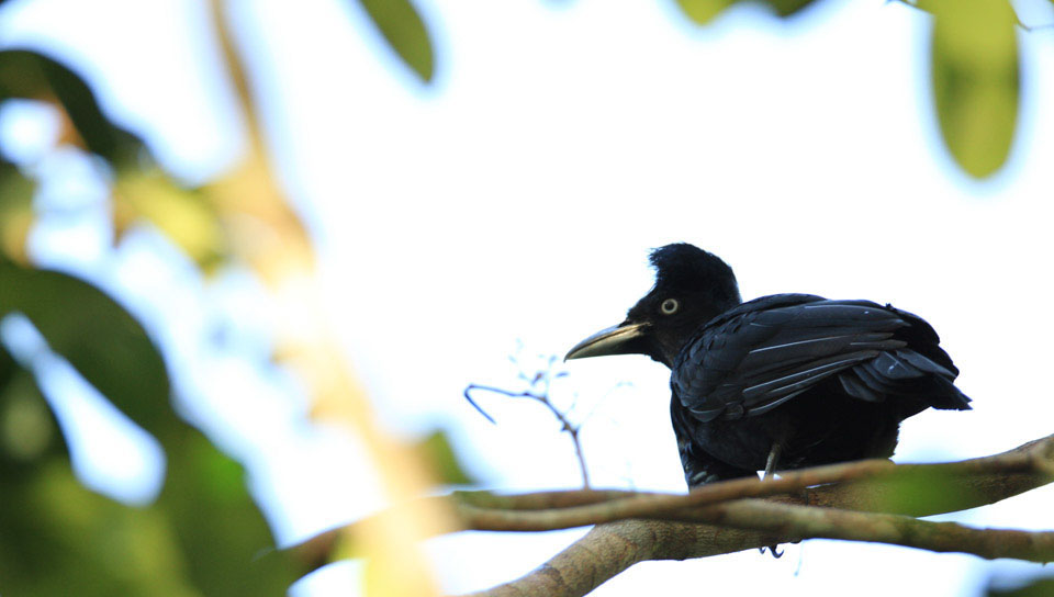 Umbrellabird (Cephalopterus ornatus) - Photo by Ester Ramirez