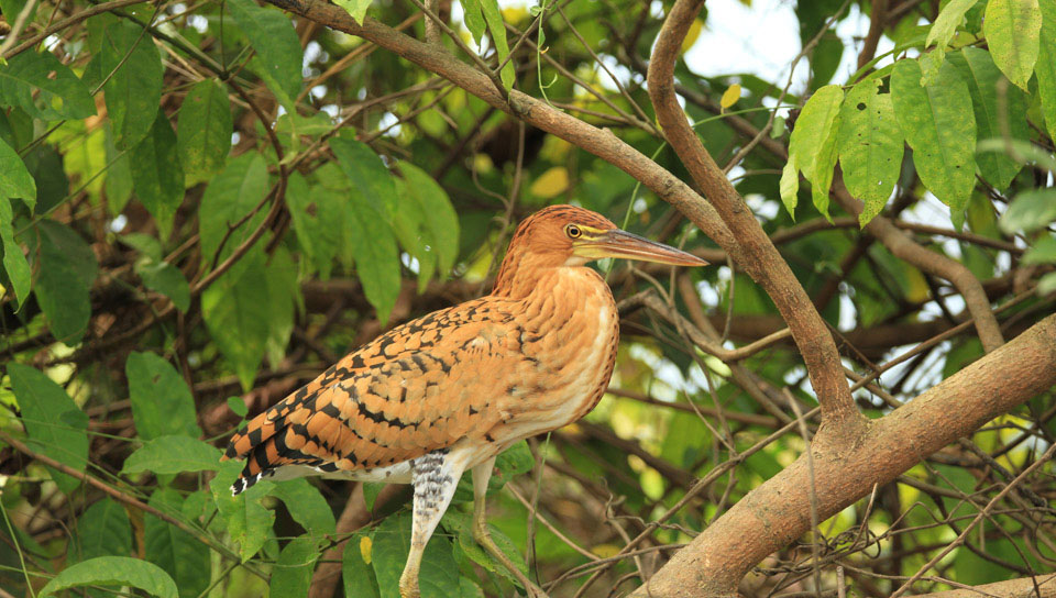 Rufescent Tiger Heron - Juvenile - (Tigrisoma lineatum) - Photo by Ester Ramirez