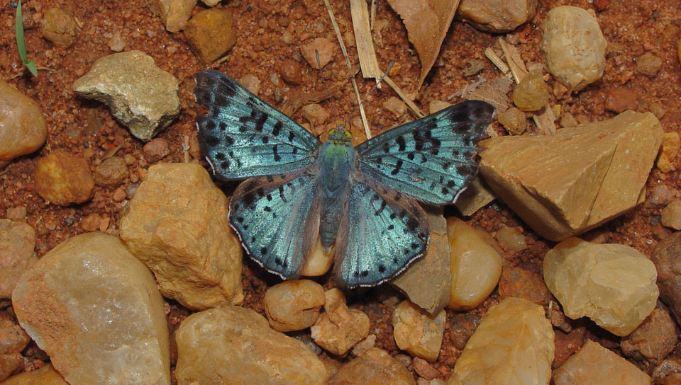 Black-patched Metalmark (Lasaia agesilas) - Photo by Gill Carter