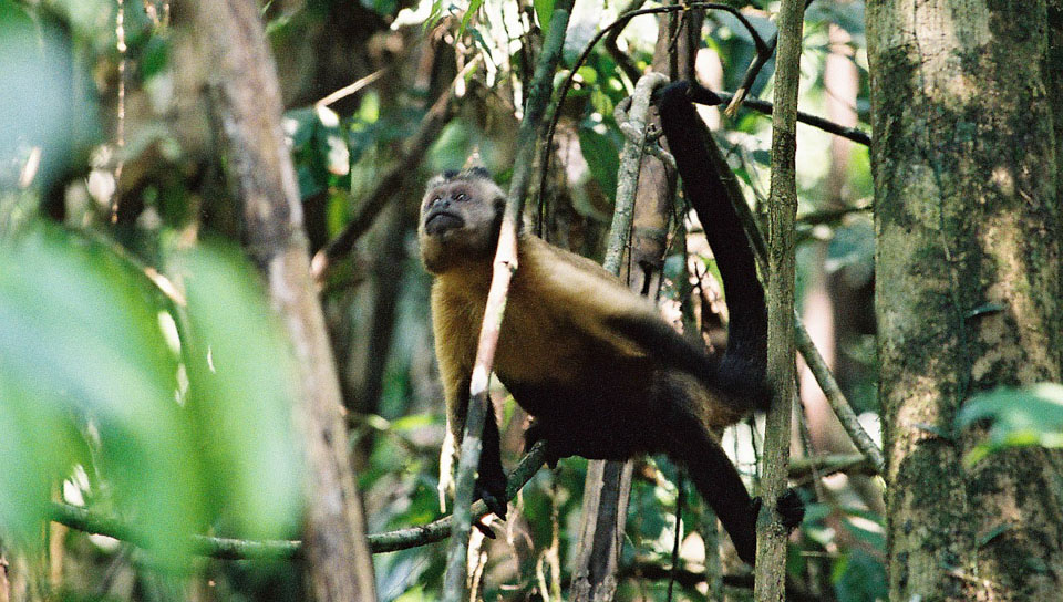 Tufted capuchin (Cebus apella) - Photo by Cécile Dubois