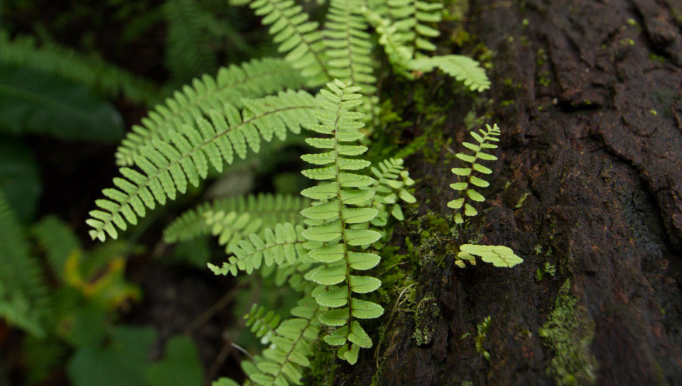 Ferns (Nephrolepis sp.) - Photo by Alex Da Riva