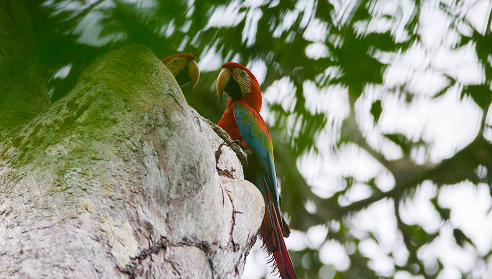 Red-and-green Macaw - Photo by João Marcos Rosa