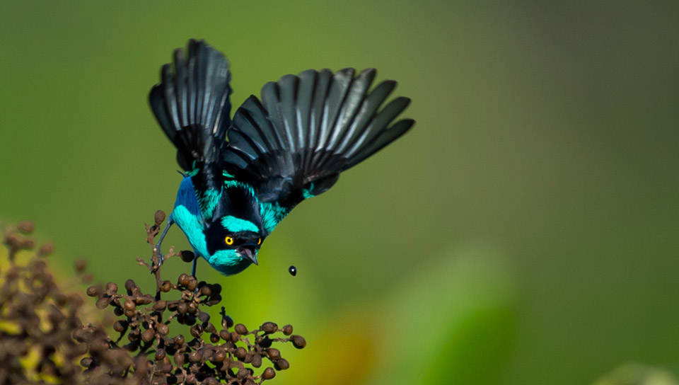 Black-faced Dacnis (Dacnis lineata) - Photo by João Quental